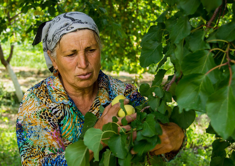 Rafoat Tursunova pflückt die Aprikosen