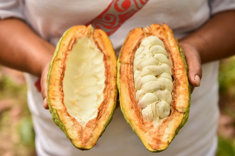 Aus diesen Kakaobohnen stellen die Kleinbäuerinnen und -bauern die Schokolade her. Zuerst fermentieren sie die Bohnen, um sie danach zu trocknen.