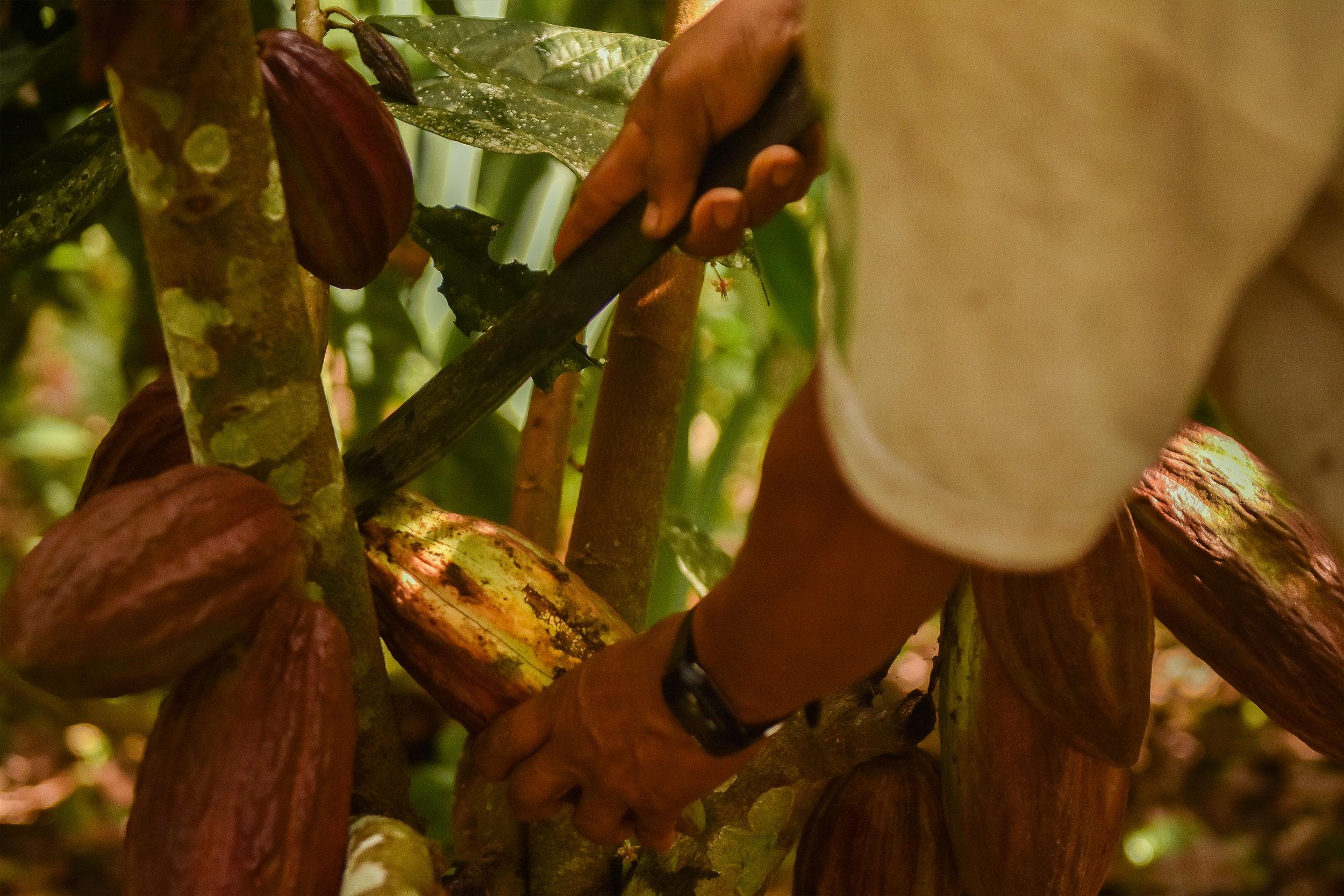 La machette permet de récolter le cacao.