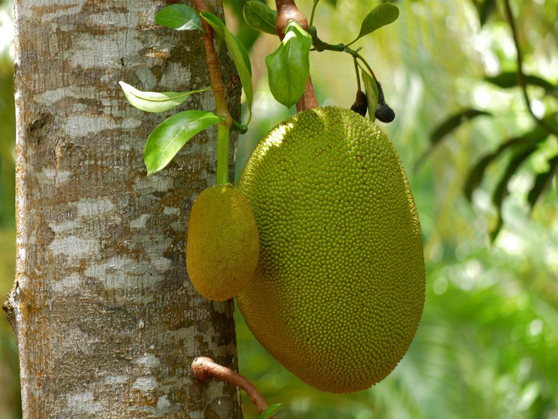 Mit einer Länge von 90cm können reife Jackfrüchte bis zu 15kg auf die Waage bringen - und sind somit die größte Baumfrucht der Erde.