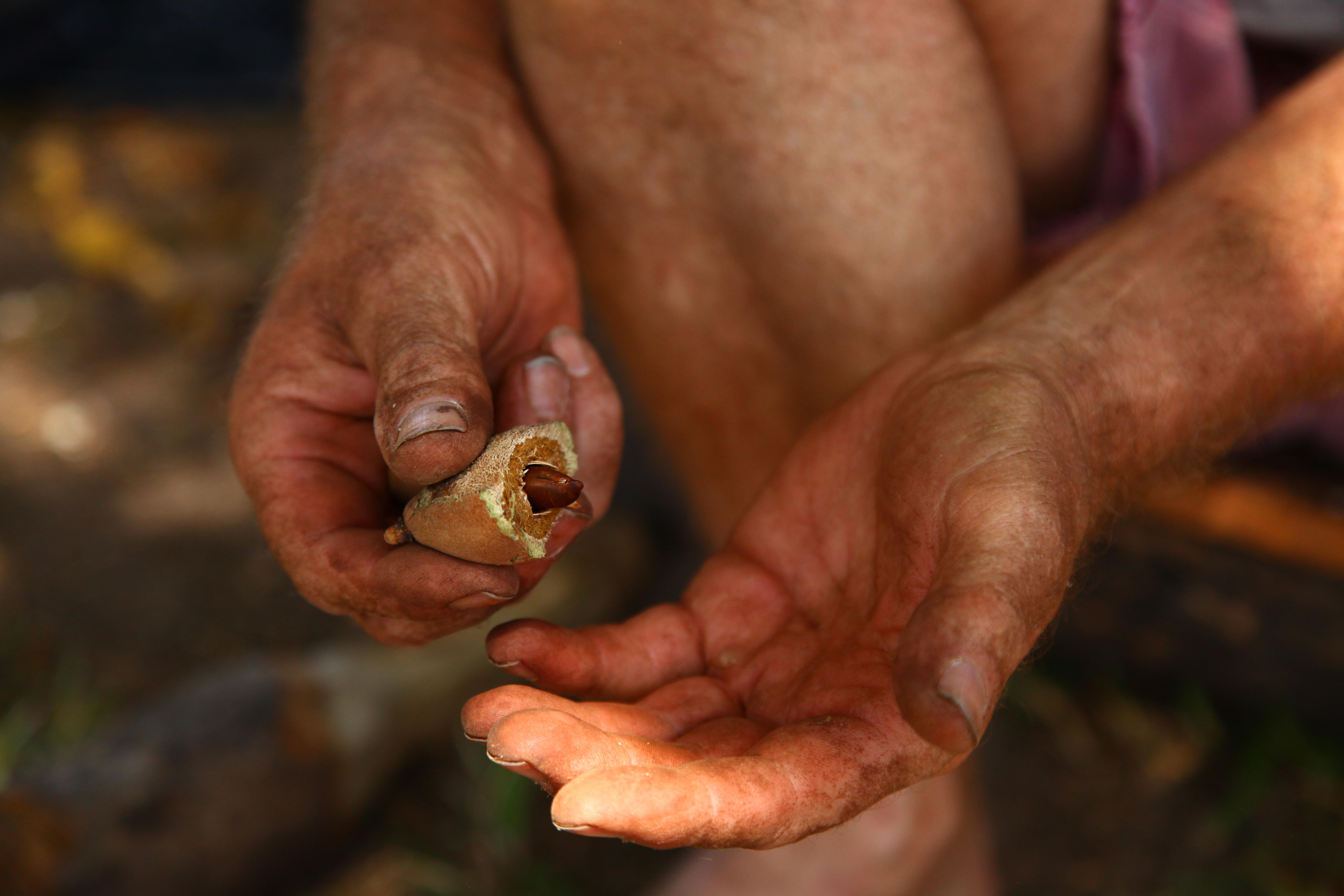 """Der """"schwarze Diamant"""": Die Barunuss ist umgeben von einem dicken Fruchtfleisch, sowie einer harten Schale."""