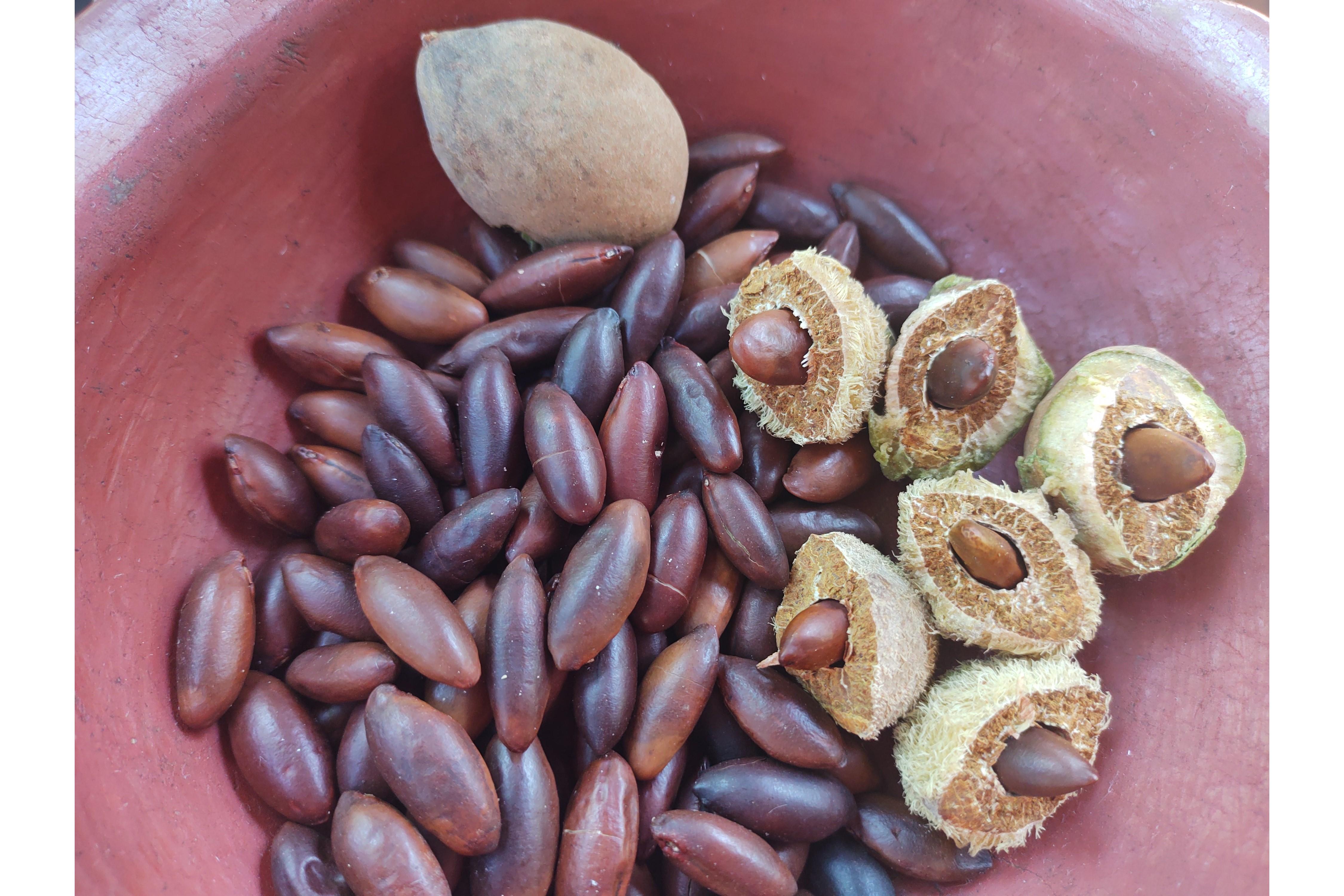 Die Barunuss als ganze Frucht, geöffnet, sowie geröstet.