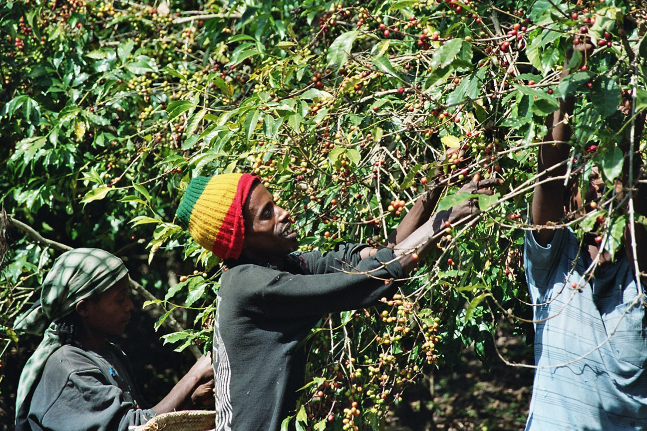 To pick only the red cherries is a lot of work – but it is crucial for the high quality of the coffee.