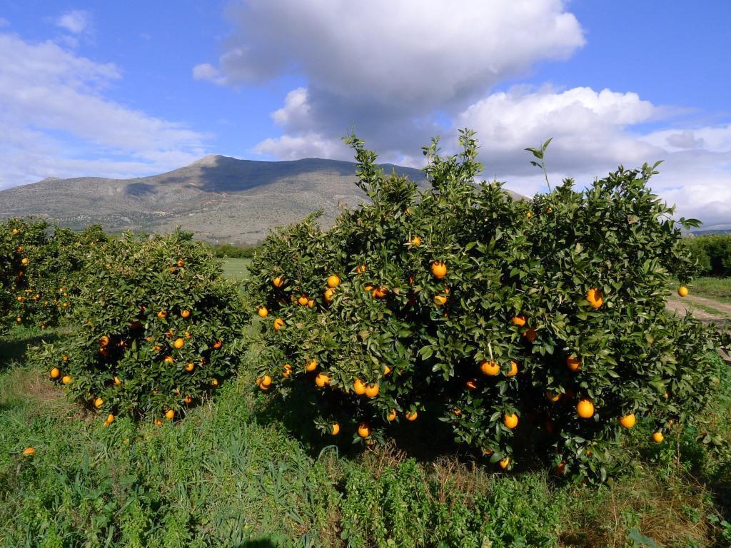 Orangenhain in der Argolida-Ebene