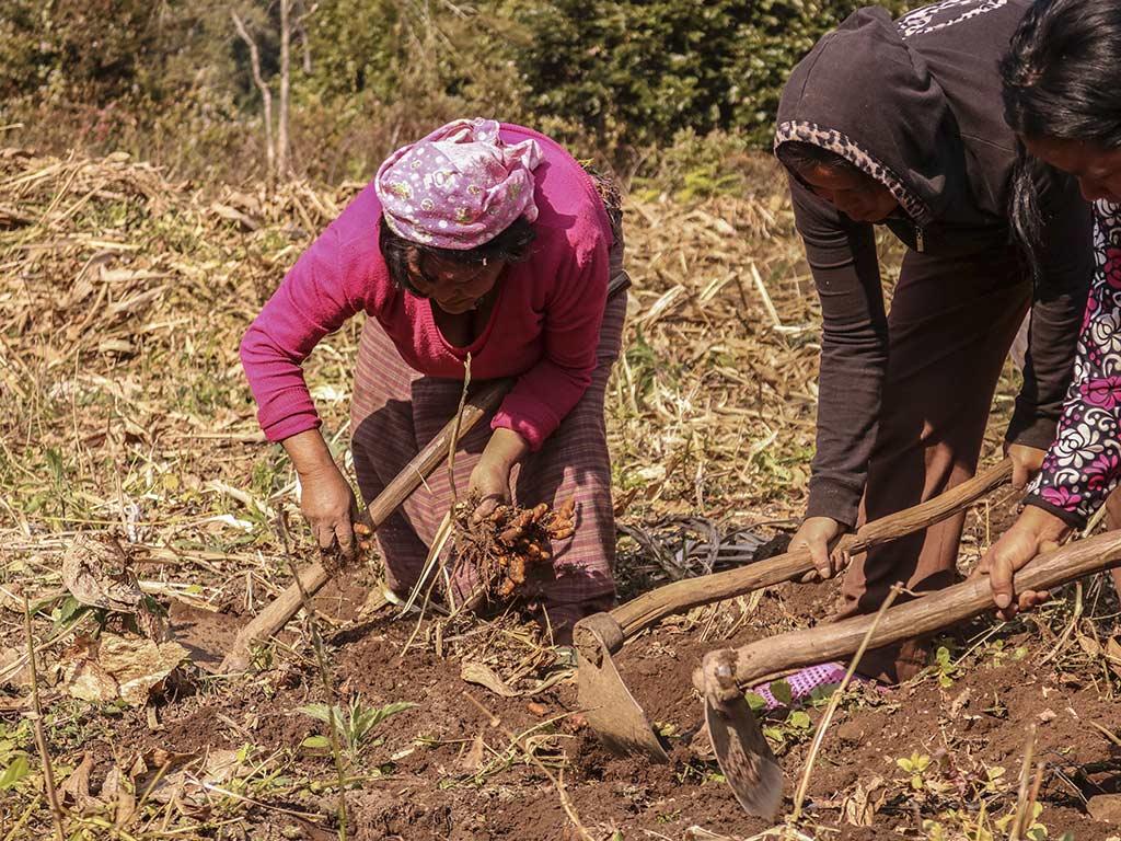 Die Frauen ernten die aromatischen Kurkuma- und Ingwerwurzeln im Januar (Foto: Cheku)