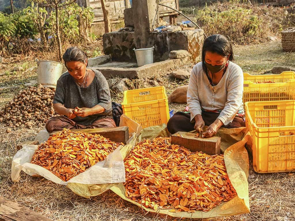 Nach der Ernte werden die Wurzeln von Hand gewaschen, geschnitten und im Elektrotrockner schonend getrocknet (Foto: Cheku)