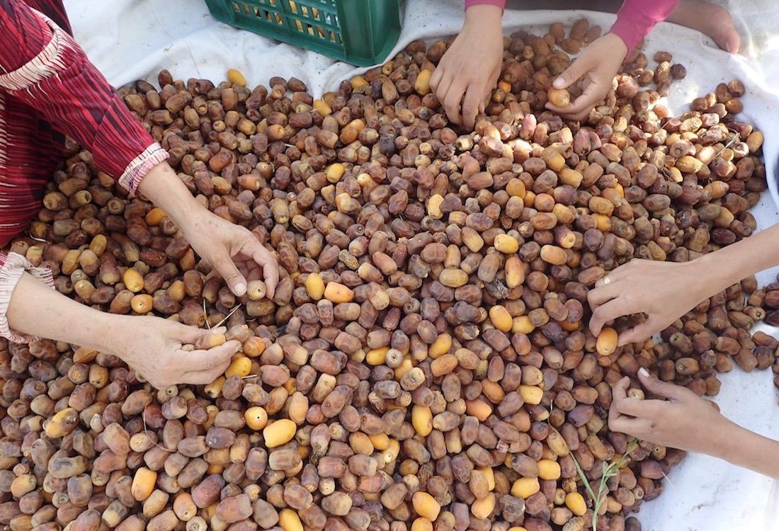 Die Datteln werden direkt nach der Ernte das erste Mal sorgfältig sortiert.