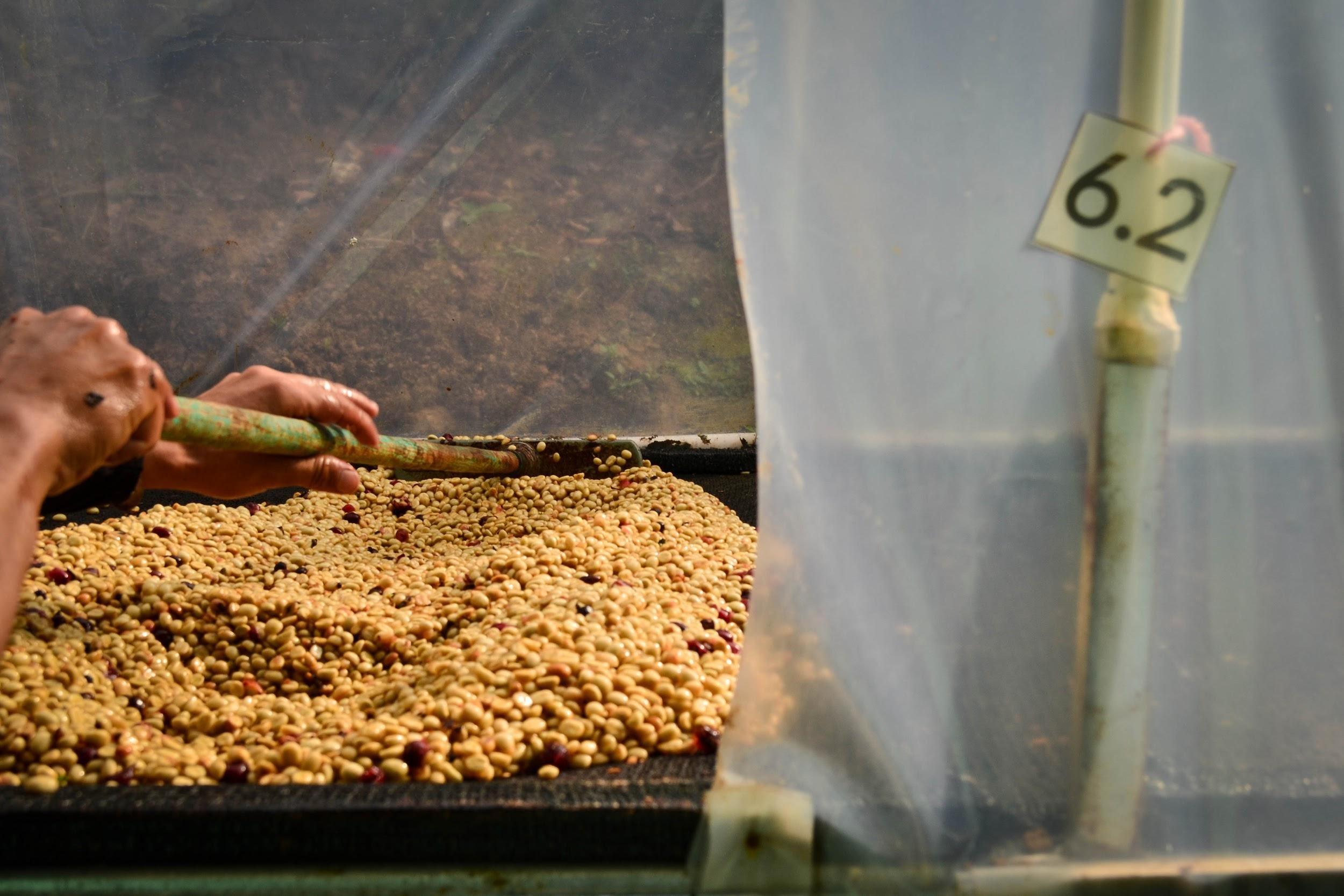 Verarbeitung des Kaffees auf dem Hof