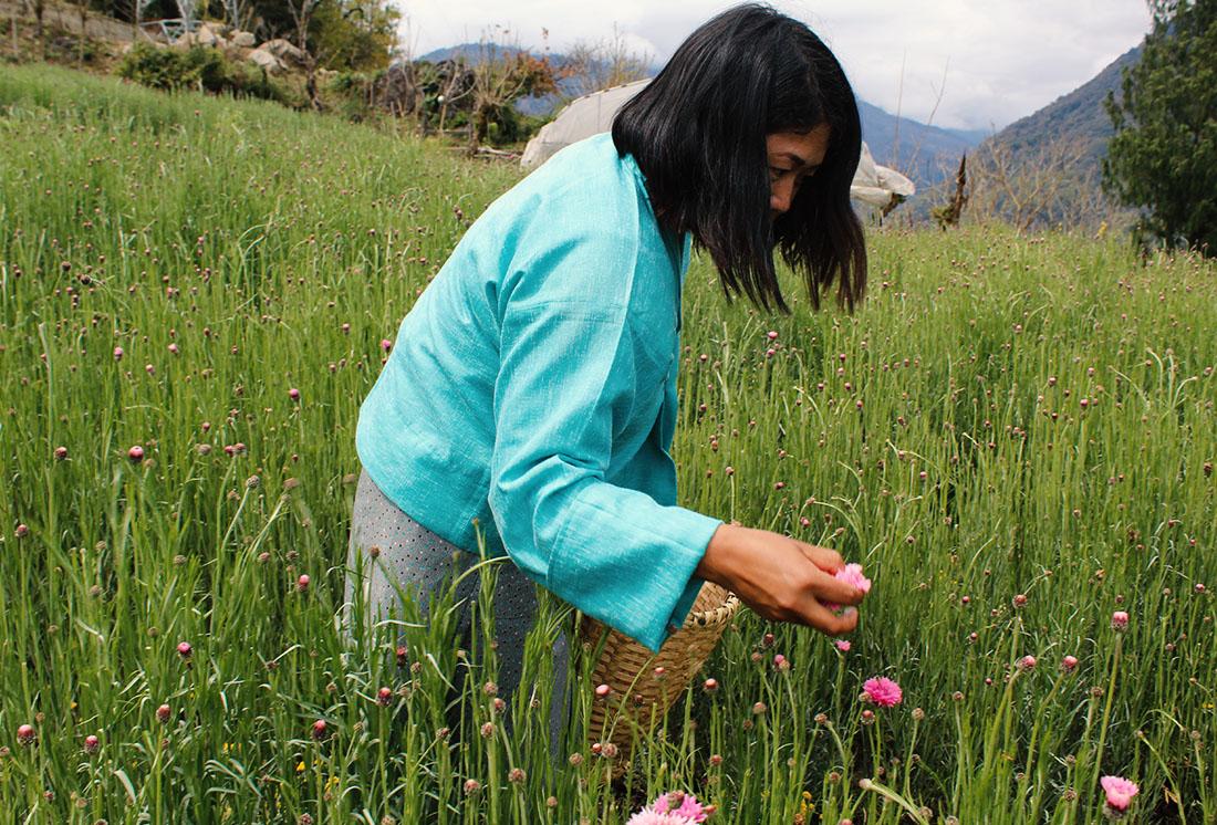 Wangchuk bei der Kornblumenernte.